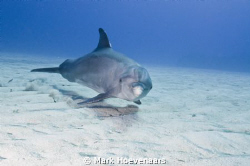 Friendly Bottlenose Dolphin. by Mark Hoevenaars 